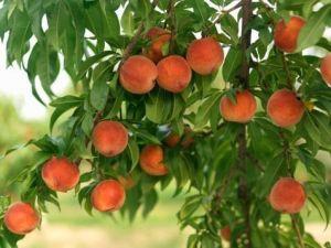 Органическое удобрение Джерело для фруктовых деревьев 500 мл