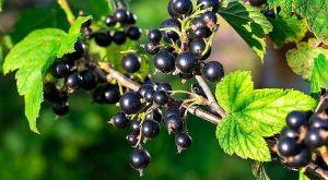 Органическое удобрение Джерело для ягодных культур 500 мл