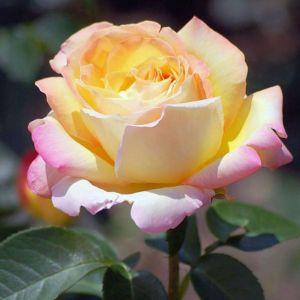 Роза Peace (Пис)