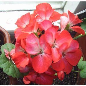 Пеларгония Бордюр двухцветная