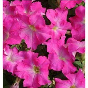 Петуния Алладин F1 розовая