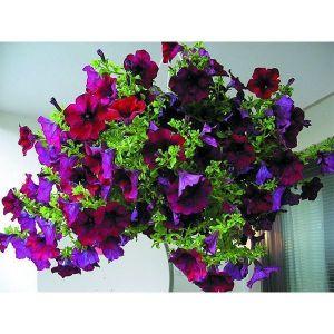 Петуния крупноцветковая серия Лимбо F1, пурпурная