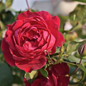 Роза Red Det (Ред Дет)