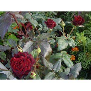Роза Black Baccara (Блек Баккара)