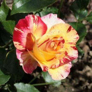 Роза Camille Pissaro (Камиль Писсаро)
