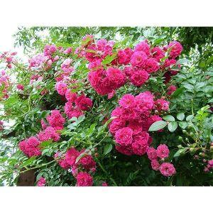 Роза Family Pink (Фемили Пинк)