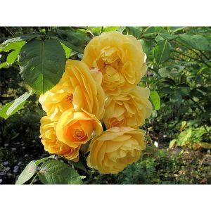 Роза Family Yellow (Фемили Еллоу)