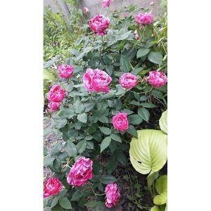 Сорта полосатых роз фото