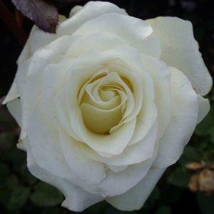 Роза J.F.Kennedy (Кеннеди)