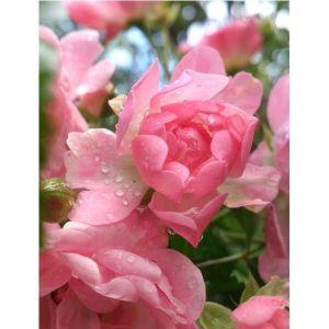 Роза штамбовая купить цена