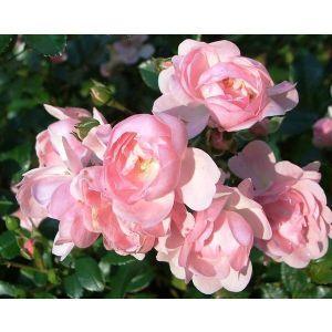 Роза Pink Fairy (Пинк Фейри) штамбовая