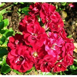 Роза Red Fairy (Ред Фейри) штамбовая