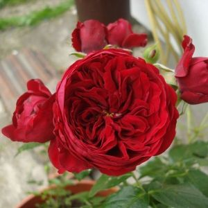 Роза Rotkappchen (Роткапчен)