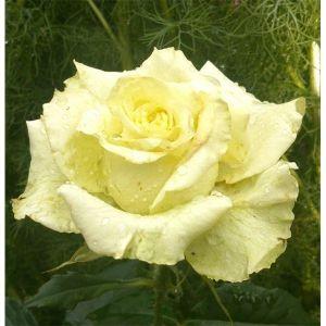 Роза Super Green (Супер Грин)