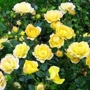 Роза Yellow Fairy (Елоу Фейри) штамбовая