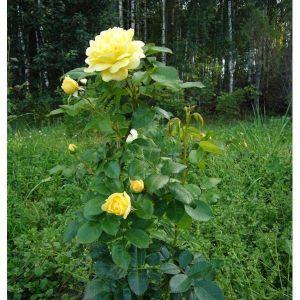 Роза в контейнере Yellow Meilove (Еллоу Мейлав), штамбовая 80-90 см