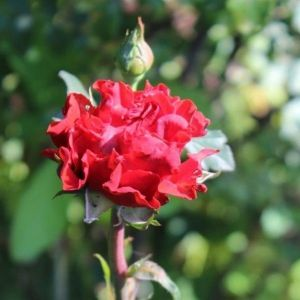 Роза El Toro (Эль Торо)