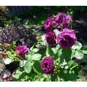 Роза Minerva (Минерва) штамбовая
