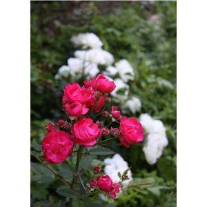 Роза Morsdag (Морсдаг) штамбовая