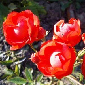 Роза Morsdag Orange (Морсдаг Оранж) штамбовая
