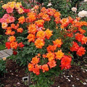 Роза Orange Meilove (Оранж Мейлав), штамбовая
