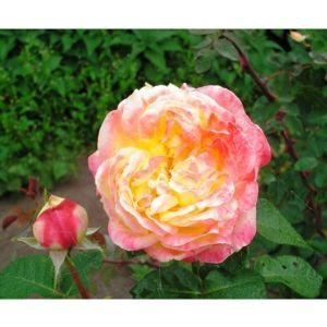 Роза Pullman Orient Express (Пульман Ориент Эспресс) штамбовая
