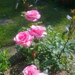 Роза в контейнере Queen of England (Elizabet) (Куин оф Ингланд, Элизабет) штамбовая, 80-90 см