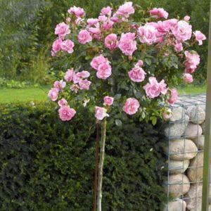 Роза Queen of England (Elizabet) (Куин оф Ингланд, Элизабет) штамбовая, 90+см