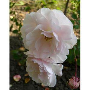 Роза Seafome (Сиафом)