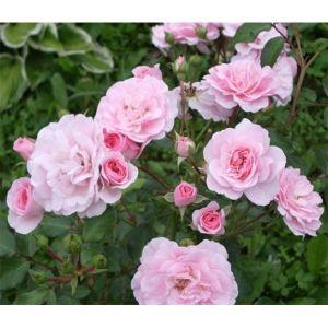 Роза Avenue Pink (Авеню Пинк)