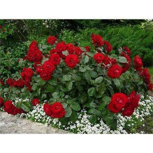Роза Avenue Red (Авеню Ред)