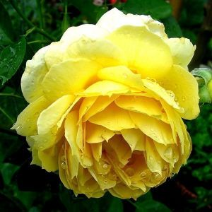 Роза Avenue Yellow (Авеню Еллоу)