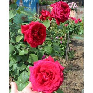 Роза Duftfestival (Дуфтфестиваль), штамбовая