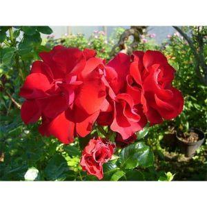 Роза Family Red (Фемили Ред)