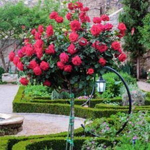 Роза Kronenburg (Кроненбург), штамбовая 90+см