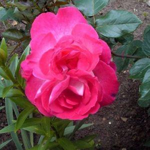 Роза Kronenburg (Кроненбург), штамбовая
