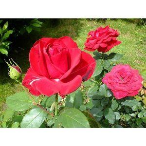 Роза Solo Red (Соло Ред)
