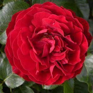 Роза King Arthur (Кинг Артур)