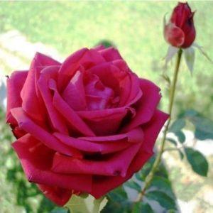 Роза Dame de Coeur (Дам де Кер)
