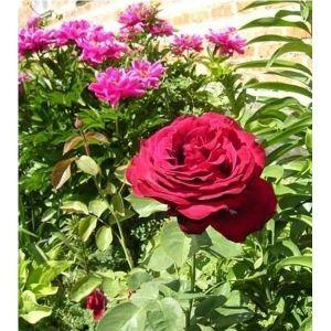 Роза Dame de Coeur (Дам де Кьор)