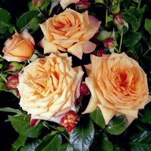 Роза Barok (Барок) 150-200 см
