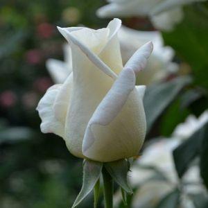 Роза Solo White (Соло Вайт)