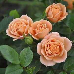 Роза Декоплант Aprikot Clementine (Априкот Клементин), 40-60 см