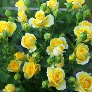 Роза Декоплант Dorola (Дорола) 50-80 см