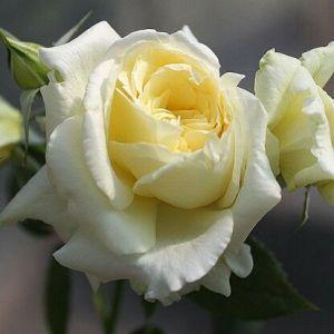 Роза Elfe (Ельф) 200-250 см