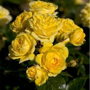 Роза Friesia (Фрезия) штамбовая 90+ см