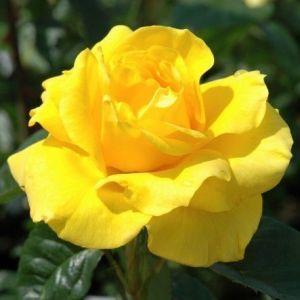 Роза Golden Wedding (Голден Веддинг)