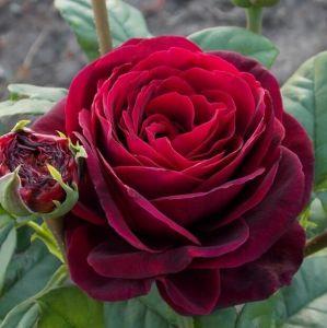 Роза Grafin von Hardenberg (Графиня фон Харденберг) 100-150 см