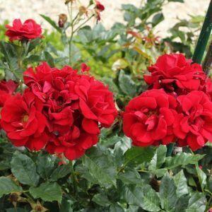 Роза Happy Wanderer (Хеппи Уандер), штамбовая 90+ см