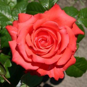 Роза Декоплант Holstein Perle (Перлина Гольштейна) штамбовая 90+см